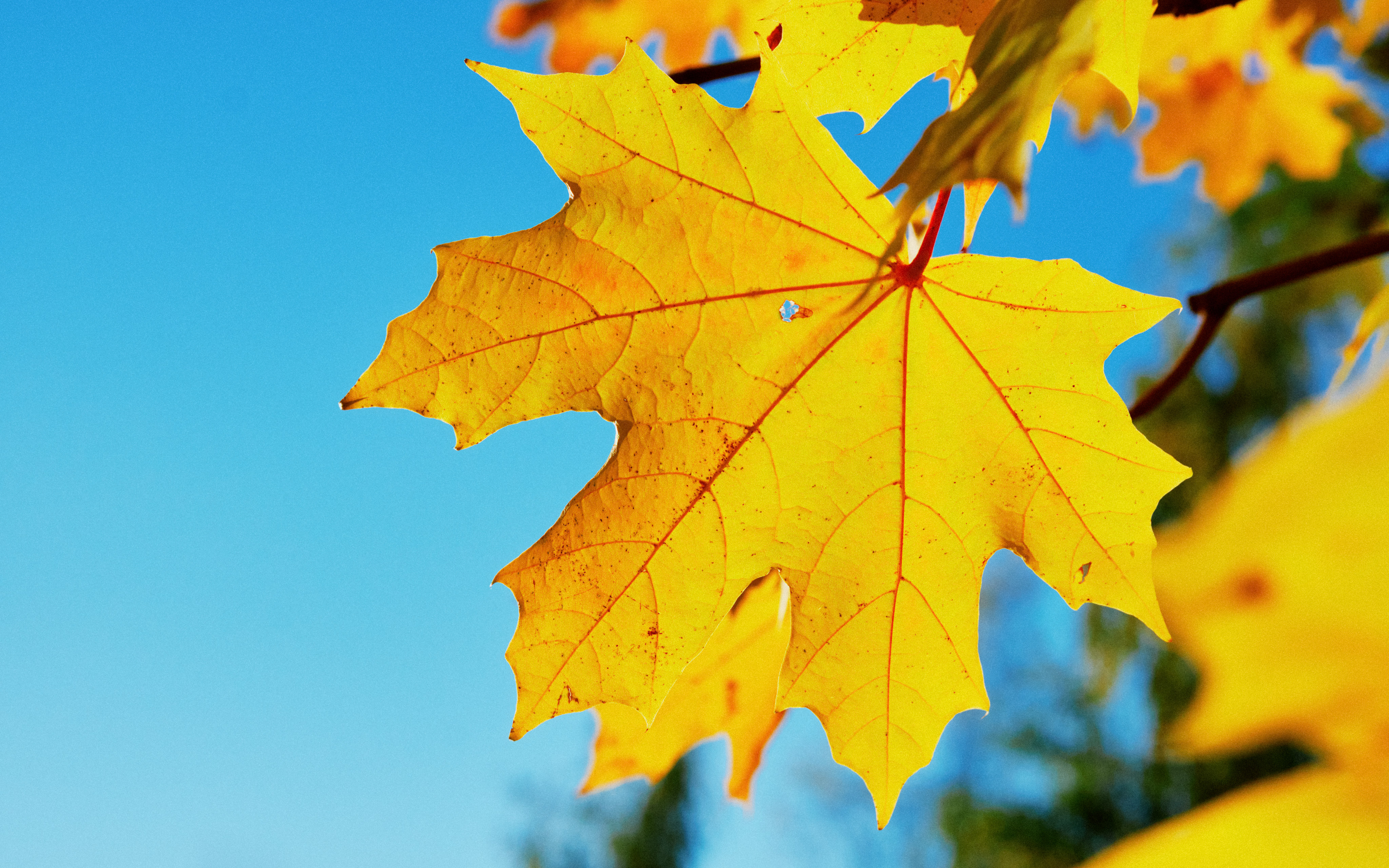 a yellow maple leaf, photo taken from underneath and through the leaf towards light. bright autumn colors