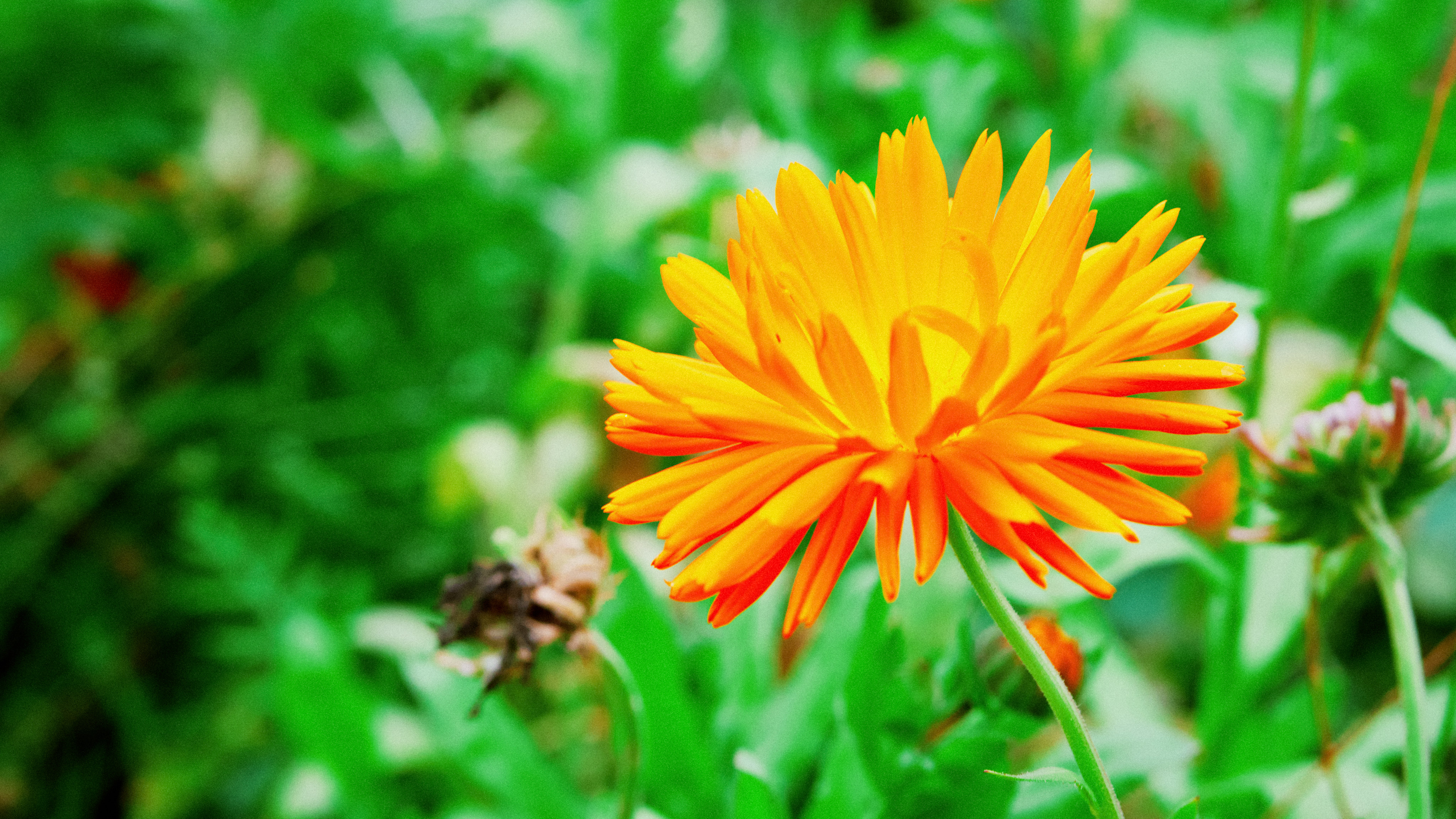 a really pretty orange flower with so many long, thin petals. wonder what it is?
