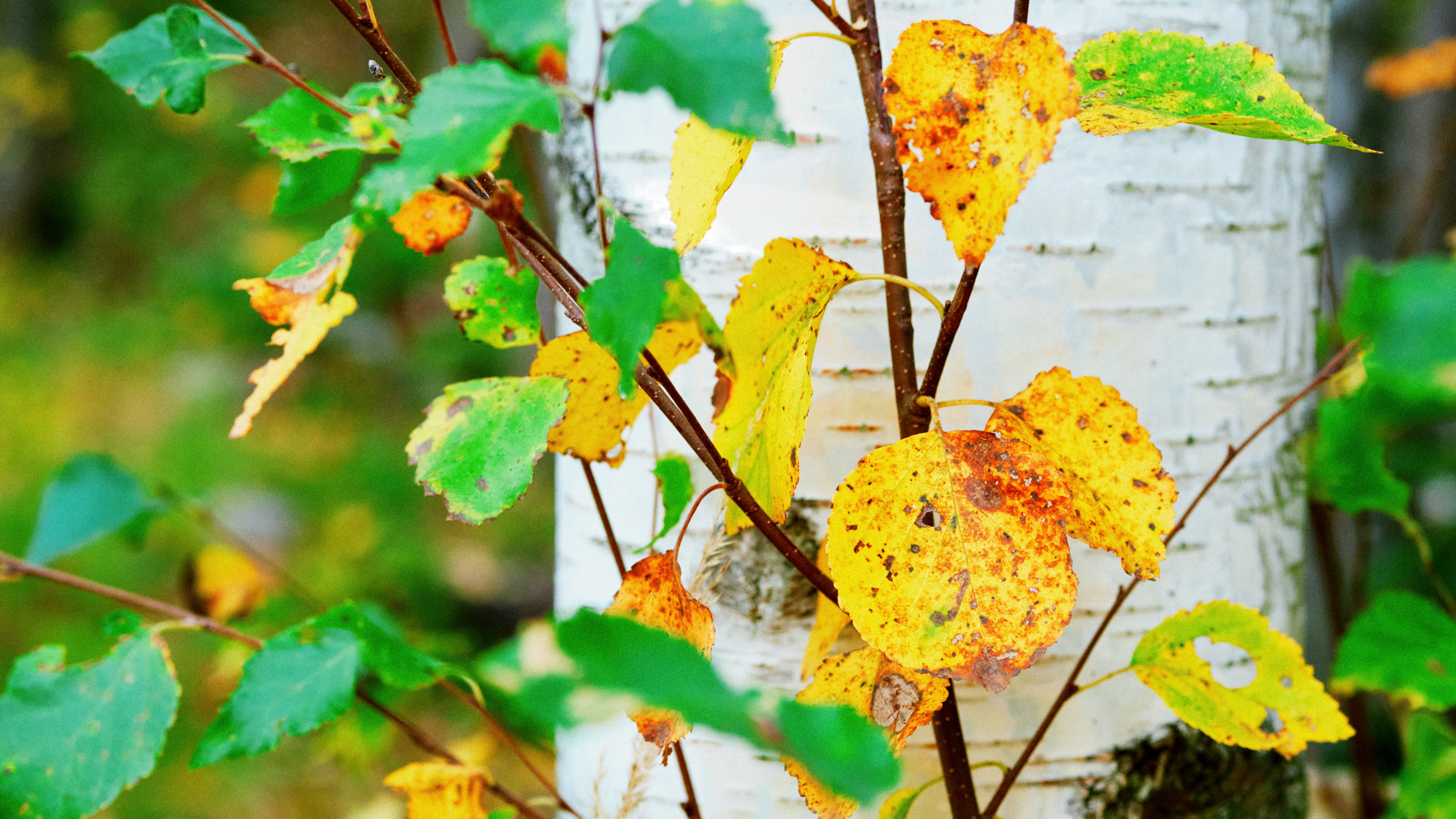 birch, with both green and yellow-orange leaves