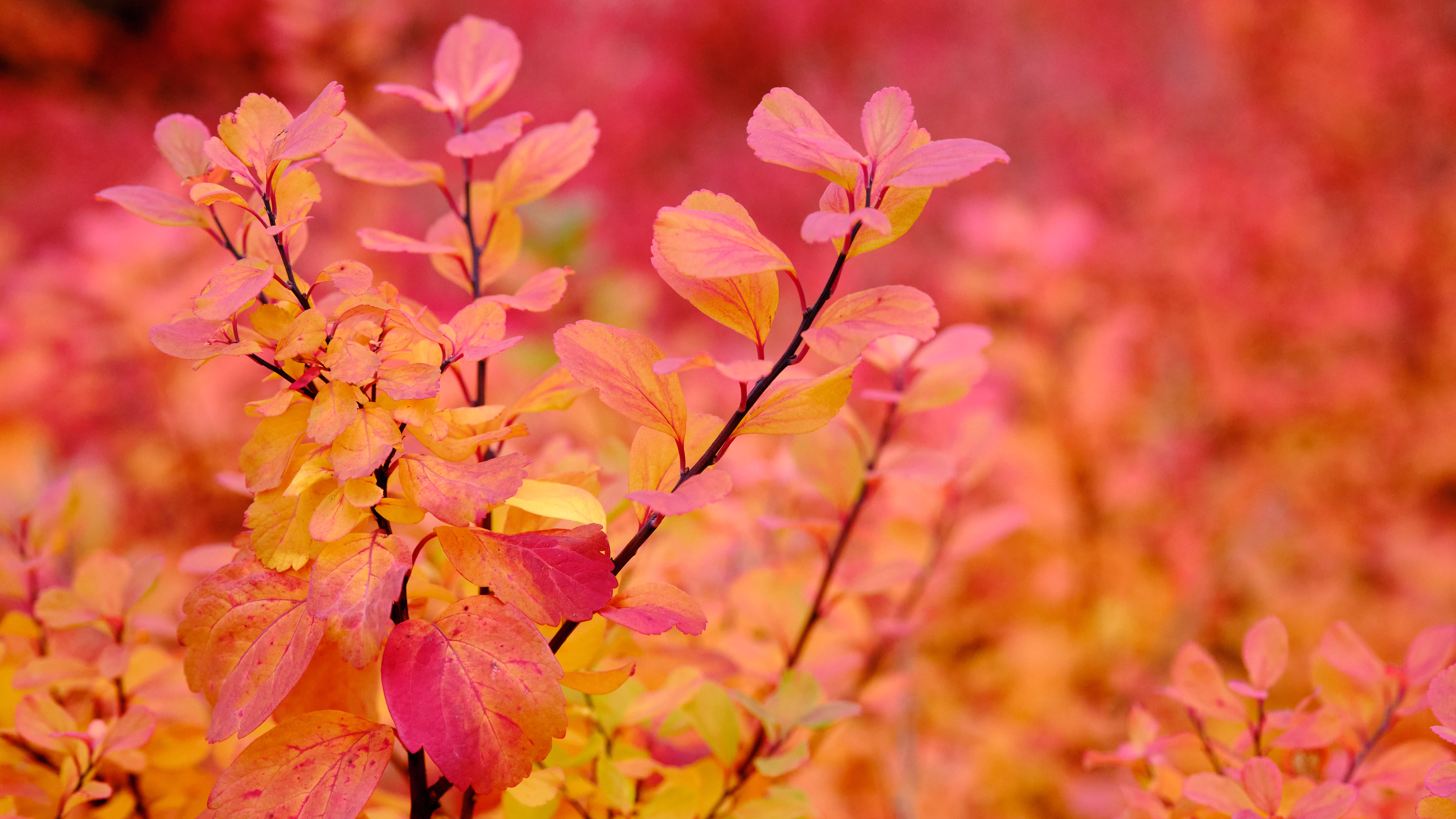 a red-orange color wash, from a sea of autumn-colored leaves on some bush or shrub